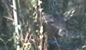 Fuggito in città cervo trova rifugio in Villacastelbarco