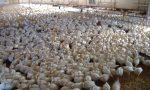 Allerta aviaria polli infetti a Cernusco