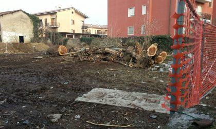 Cascina Bellaviti abbattuto lo storico pioppo di Pozzuolo