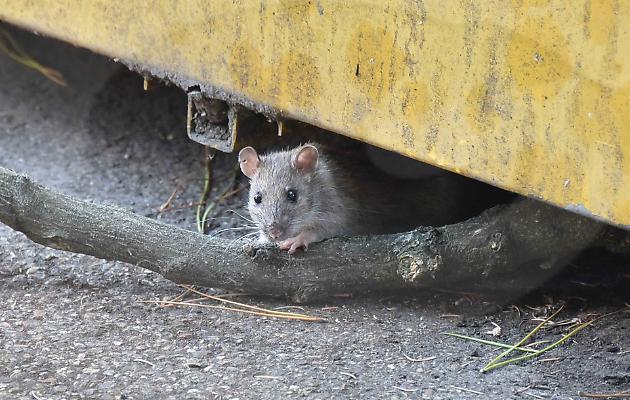 Invasione di topi i residenti chiamano il sindaco la martesana - Invasione di formiche in cucina ...