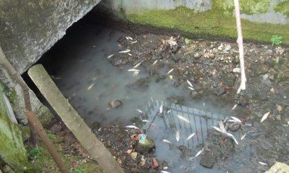La roggia Calchera diventa un cimitero di pesci
