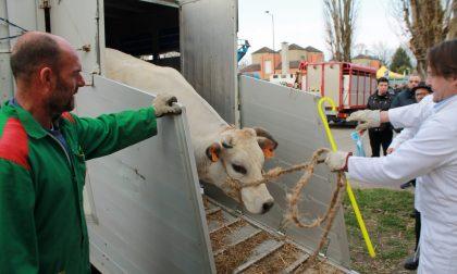 Fiera delle Palme torna l'esposizione del bestiame senza troppe contestazioni