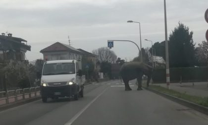 Elefante scappa dal circo e danneggia un'auto