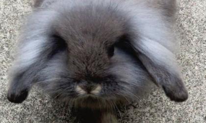 SOS conigli e animali esotici, a Brugherio gli esperti spiegano come accoglierli in casa