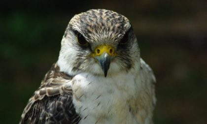 Falco pellegrino e lodolaio soccorsi da Enpa