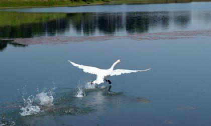 Il cigno con le ali tarpate torna a volare FOTO