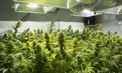 Cannabis legale: a rischio i negozi di canapa light