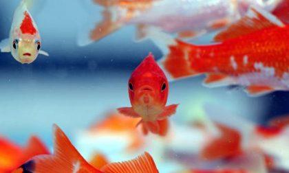 Non solo cani: pesci rossi abbandonati ad agosto, serve un acquario pubblico