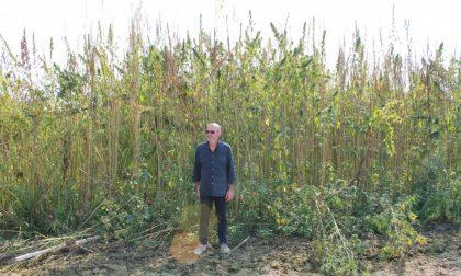 Marijuana legale, si coltiva anche in Martesana