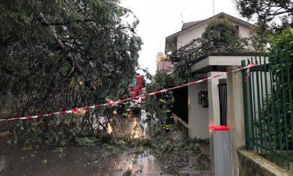 Maltempo in Adda e Martesana alberi in strada e traffico rallentato