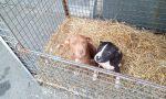 Cuccioli di pitbull salvati dalla Polizia Locale