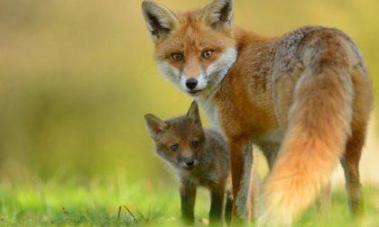 Aperta la caccia alla volpe in Lombardia: fucili puntati per tutto l'anno