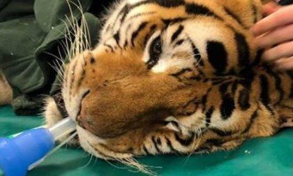 Ospedale Veterinario Lodi opera tigre di 200 chili