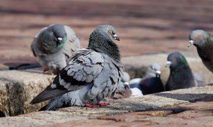 Gli escrementi di piccione costano 10mila euro alla città
