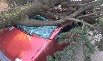 Tragedia sfiorata a Segrate crolla un albero su un'auto