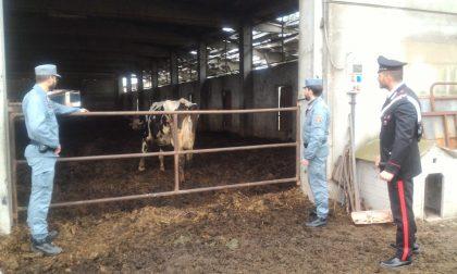 """Il sindaco di Cassina: """"Devo accudire ogni giorno le vacche dei Cassi"""""""