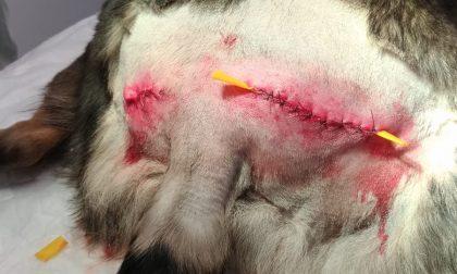 """Azzannata in strada mentre passeggia con il cane veterinaria protesta: """"Non è la prima volta"""""""