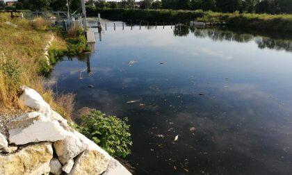 Pesci morti nel Lambro, si teme sversamento chimico