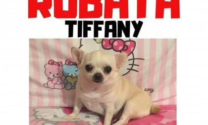"""Cane rubato dalla macchina: appello per ritrovare """"Tiffany"""""""