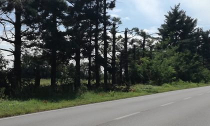 C'è una speranza per gli alberi lungo l'Sp104 tra Vaprio e Cassano d'Adda