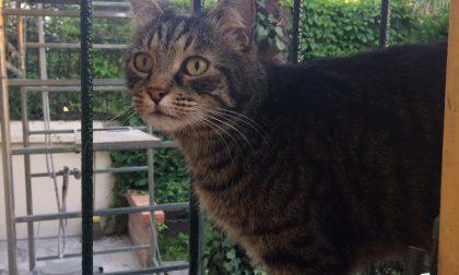 """Smarrito il gatto """"Mimì"""" da un mese a Cassina De Pecchi"""