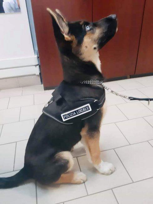 cane poliziotto polizia locale 1