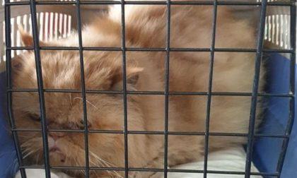 """Gatto abbandonato davanti a un negozio: """"Sono anziana, povera e malata"""""""