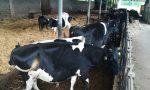 Cassano, c'è un'offerta per le «mucche del sindaco»