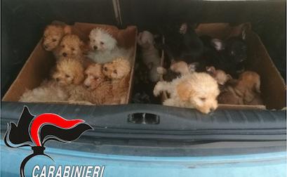 Traffico illecito di cuccioli di razza dall'Est Europa: quattro misure cautelari FOTO