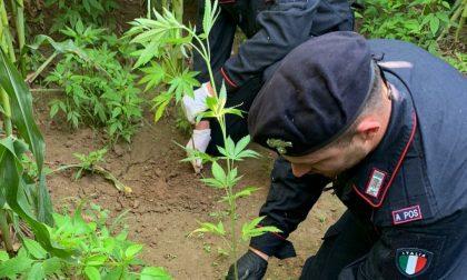 Quaranta piante di marijuana in un terreno agricolo scoperte dai Carabinieri