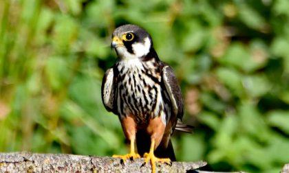 Trezzo, all'Oasi Le Foppe avvistato un falco lodolaio FOTO