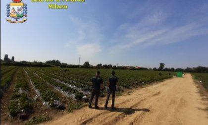 Caporalato in Martesana: cento lavoratori nei campi 9 ore al giorno per 4,5 euro all'ora a raccogliere fragole. Interviene la Finanza VIDEO