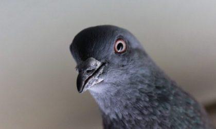 Regione arruola seicento cacciatori per eliminare 20mila piccioni