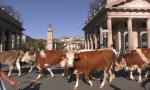 Mucche da Bergamo a Gorgonzola: è la transumanza dei bergamini