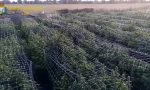 Sequestrata la più grande piantagione di marijuana mai vista in Italia: 115.800 piante. E' di un 20enne di Segrate VIDEO