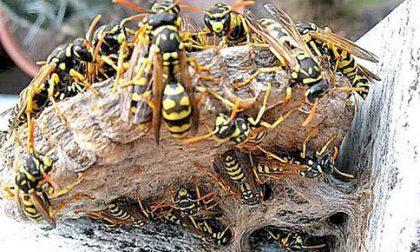 Sciame di vespe semina il panico alla scuola media di Cassina
