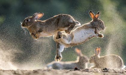 Invasione di conigli al centro sportivo di Melzo. Saranno abbattuti