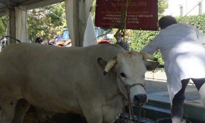 Fiera del bestiame a Inzago per la festa FOTO