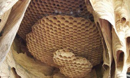 Apre il capanno e trova un nido di calabroni da record FOTO