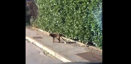 """Una volpe a """"passeggio"""" a Cassina de' Pecchi VIDEO"""