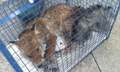 Catturata in un parco la volpe di Cassina de' Pecchi
