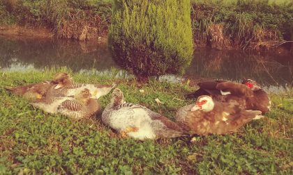 Rubate le anatre dall'oasi di Opera verde