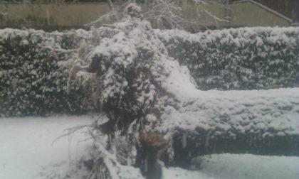Continua a nevicare, un albero crolla al suolo a Melzo FOTO