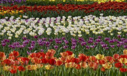 Un campo con 35.000 tulipani aperto a tutti a due passi dalla Martesana