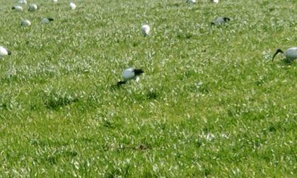 Stormo di ibis   a Masate nei pressi di Cascina San Nabor