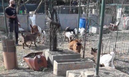 """""""Allevamento"""" nel campo nomadi: sette caprette salvate dall'Enpa"""