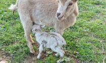 Ladri di animali in azione: spariscono capre, polli e anatre