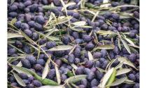 Olio biologico della Sicilia