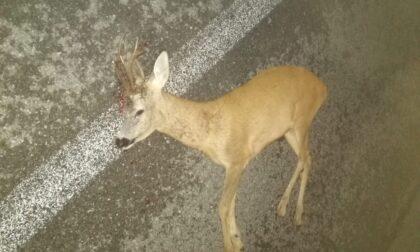 Capriolo travolto e ucciso lungo la strada