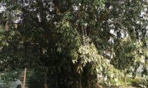 Rischia di cadere sul centro disabili:  albero storico  di Trezzo  sarà abbattuto